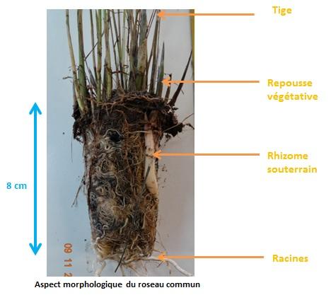 Aspect morphologique du roseau commun