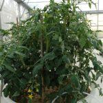 Microcosme végétalisé (Tomates)